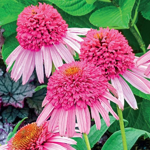 Cone Flower, Echinacea, Pink Double Delight, 1 gal