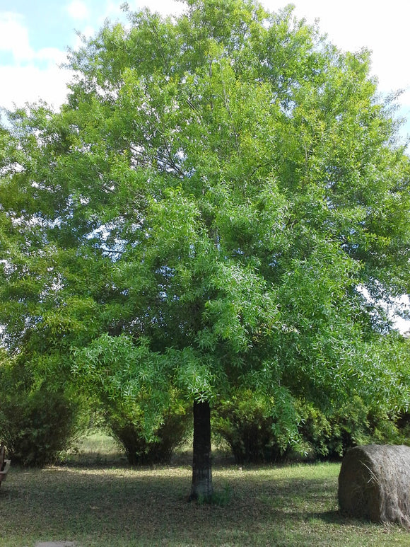 Willow Oak (Quercus Phellos) (15gal)