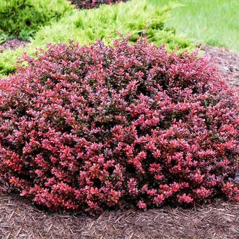 Barberry Crimson Pygmy 3 gal BC