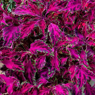 Coleus, Party Time,