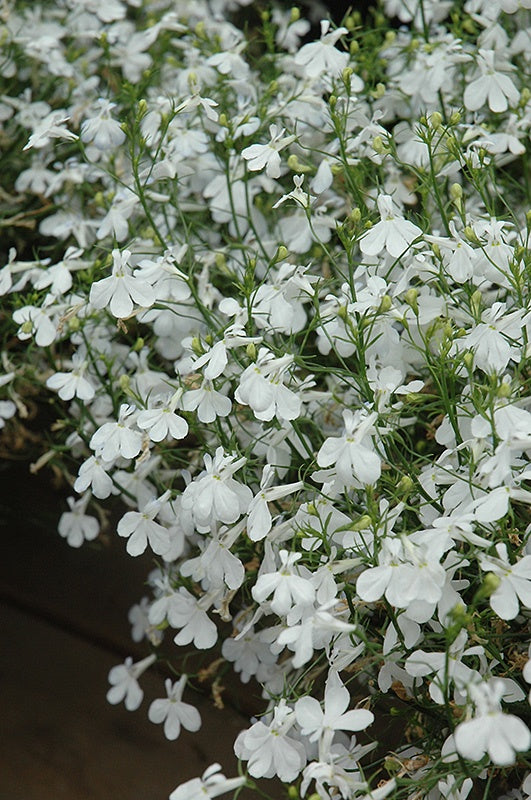 Lobelia, Techno, White - 4