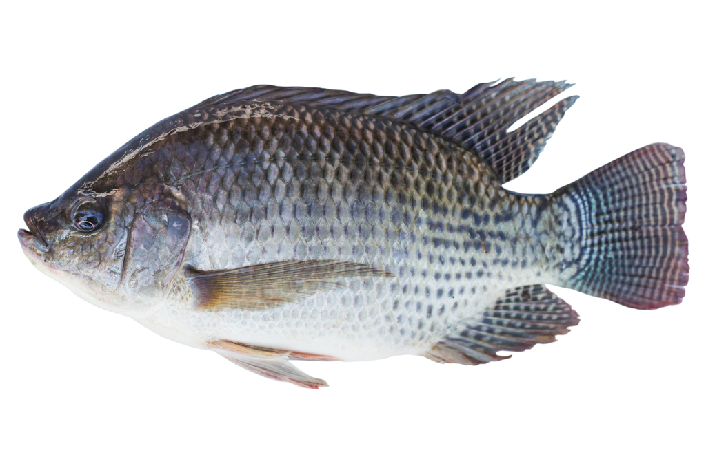 Tilapia : Whole / Cleaned