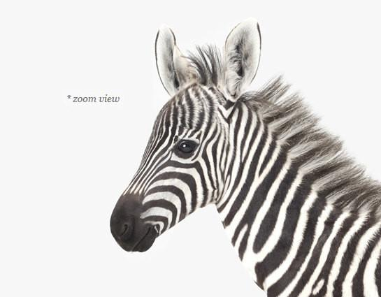 Baby Zebra Print - Project Nursery