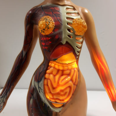 Anatomical Mannequin