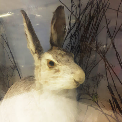 Taxidermy Arctic Snow Hare