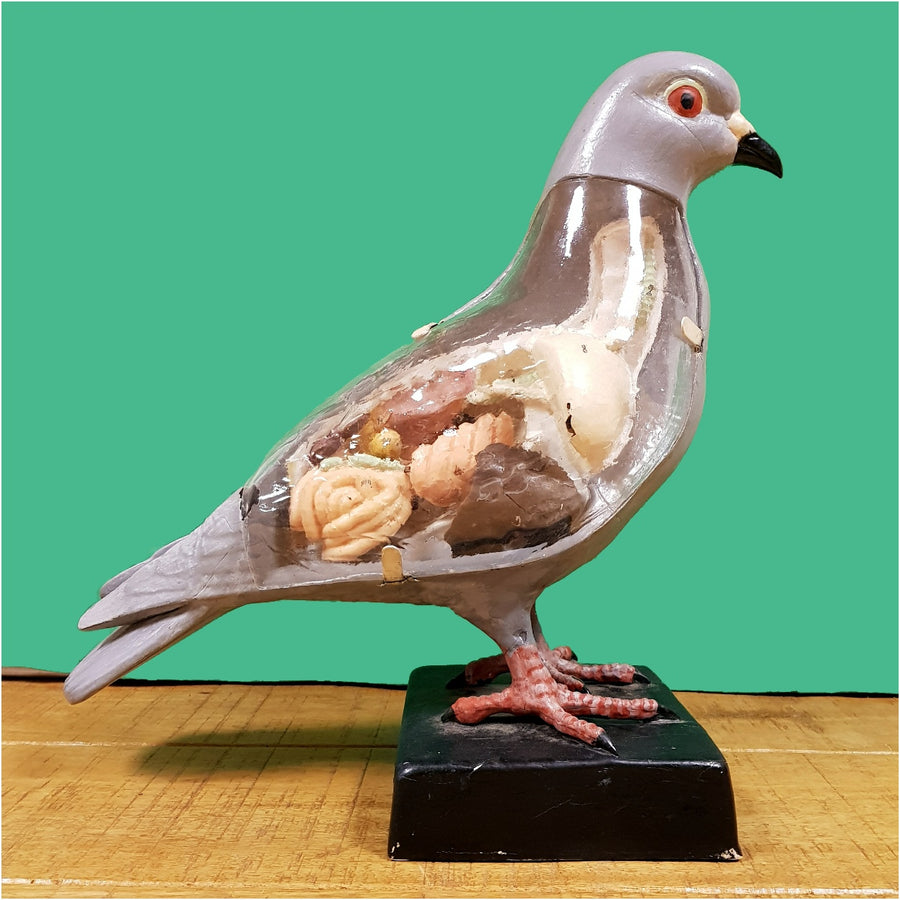 Anatomical Model Pigeon