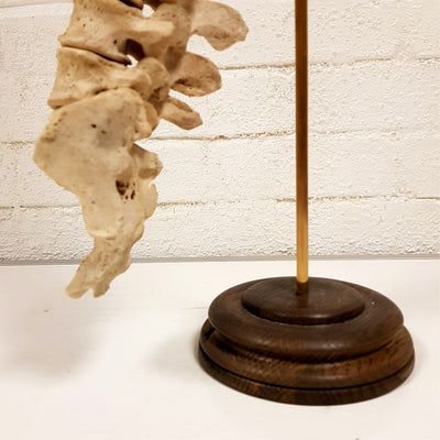 Antique Mounted Spine