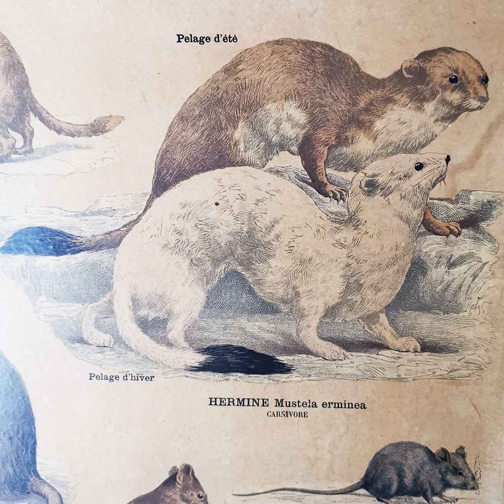 French Educational Poster (Carnivores & Rodents)