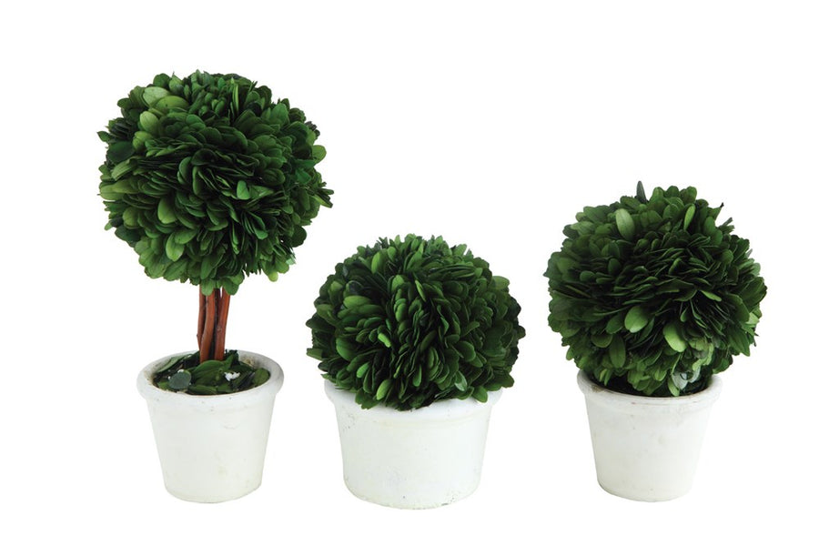 Boxwood Topiary Trees in Clay Planter
