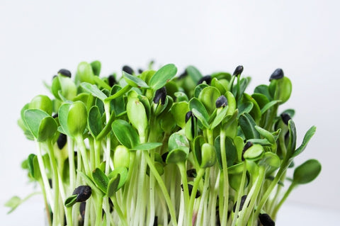 Sprouting Seeds - Sunflower Black Oilseed - 100g