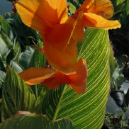 Load image into Gallery viewer, Tropical Water Canna (Orange Flower)