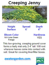 Load image into Gallery viewer, Creeping Jenny