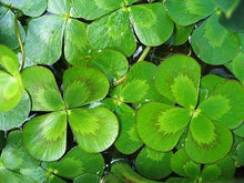 Load image into Gallery viewer, Four Leaf Clover