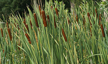 Load image into Gallery viewer, Graceful Cattail