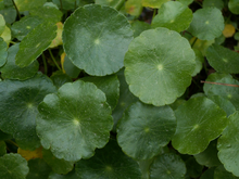 Load image into Gallery viewer, Pennywort