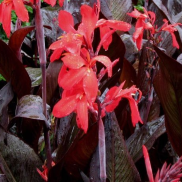 Tropical Water Canna (Red Flower)