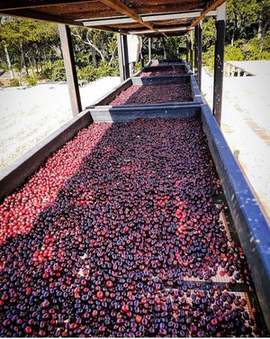 Natural coffees drying