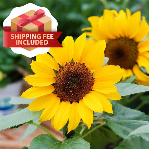 Sunflower Growing Package - FR-001 Sunflower-Vegetable Garden-Baba E Shop