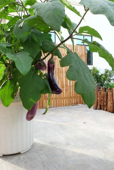 Urban Farming Package - Long Brinjal