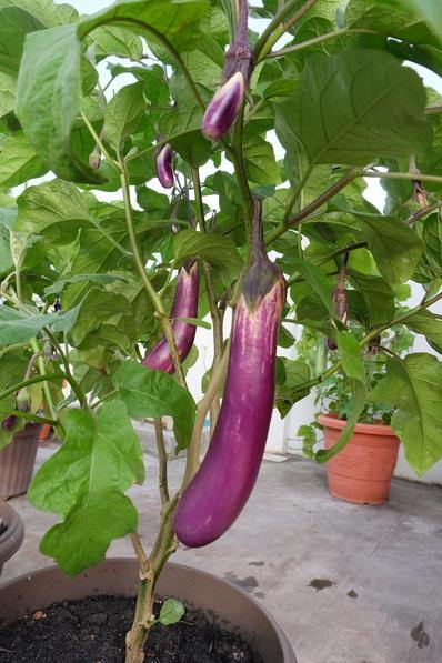 Melon & Beans Home Package - VE-023 F1 Long Brinjal