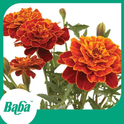 Baba Smart Grow Seed: FR-005 French Marigold-Seeds-Baba E Shop