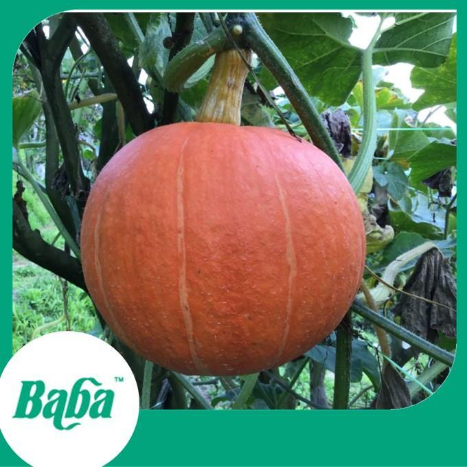 Baba Smart Grow Seed: VE-058 Fine Pumpkin-Seeds-Baba E Shop
