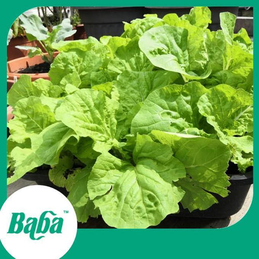 Baba Smart Grow Seed: VE-068 Chinese Cabbage-Seeds-Baba E Shop