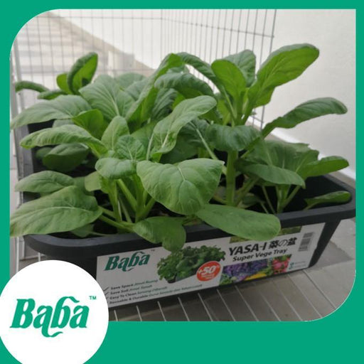 Baba Smart Grow Seed: VE-042 Hong Kong Choy Sum-Seeds-Baba E Shop