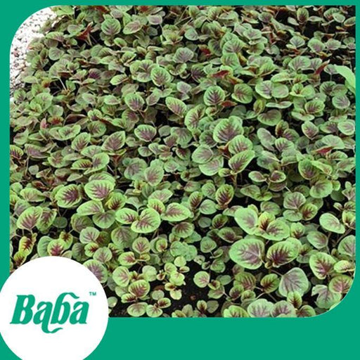 Baba Smart Grow Seed: VE-008 Amaranth Red Autumn-Seeds-Baba E Shop