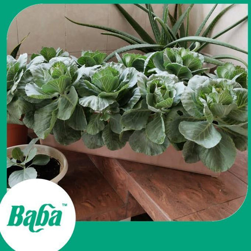 Baba Smart Grow Seed: VE-043 F1 Cabbage-Seeds-Baba E Shop