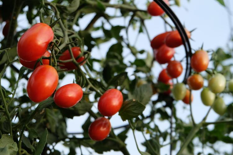 Urban Farming Package - Cherry Tomato