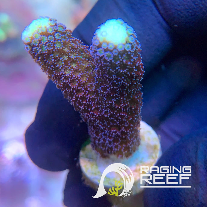 Red Sea Purple Stylophora frag