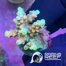 Load image into Gallery viewer, Rainbow nugget Acropora frag