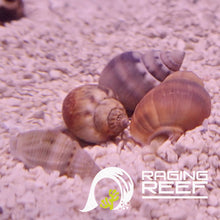 Load image into Gallery viewer, Nassarius Snail