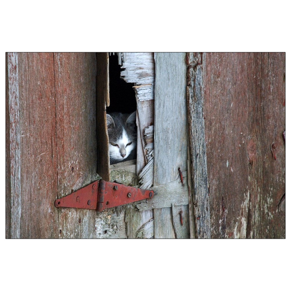 Barn Cat - 4x6 Postcards