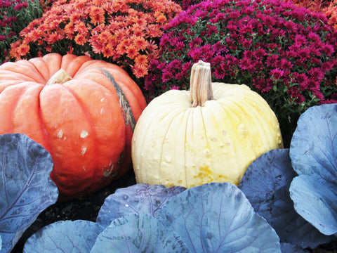 Fall Cabbage, Mums and Pumpkins at Mowbray's Garden Center