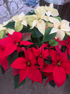 "8.5"" Red/White mixed Poinsettia"