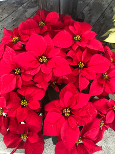 "6"" Poinsettia (multiple color options available)"