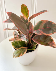 Variegated Rubber Tree