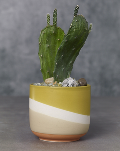 The Colorway Pots has a wave of three colors - Sand, Cream, and mustard yellow and planted Cacti