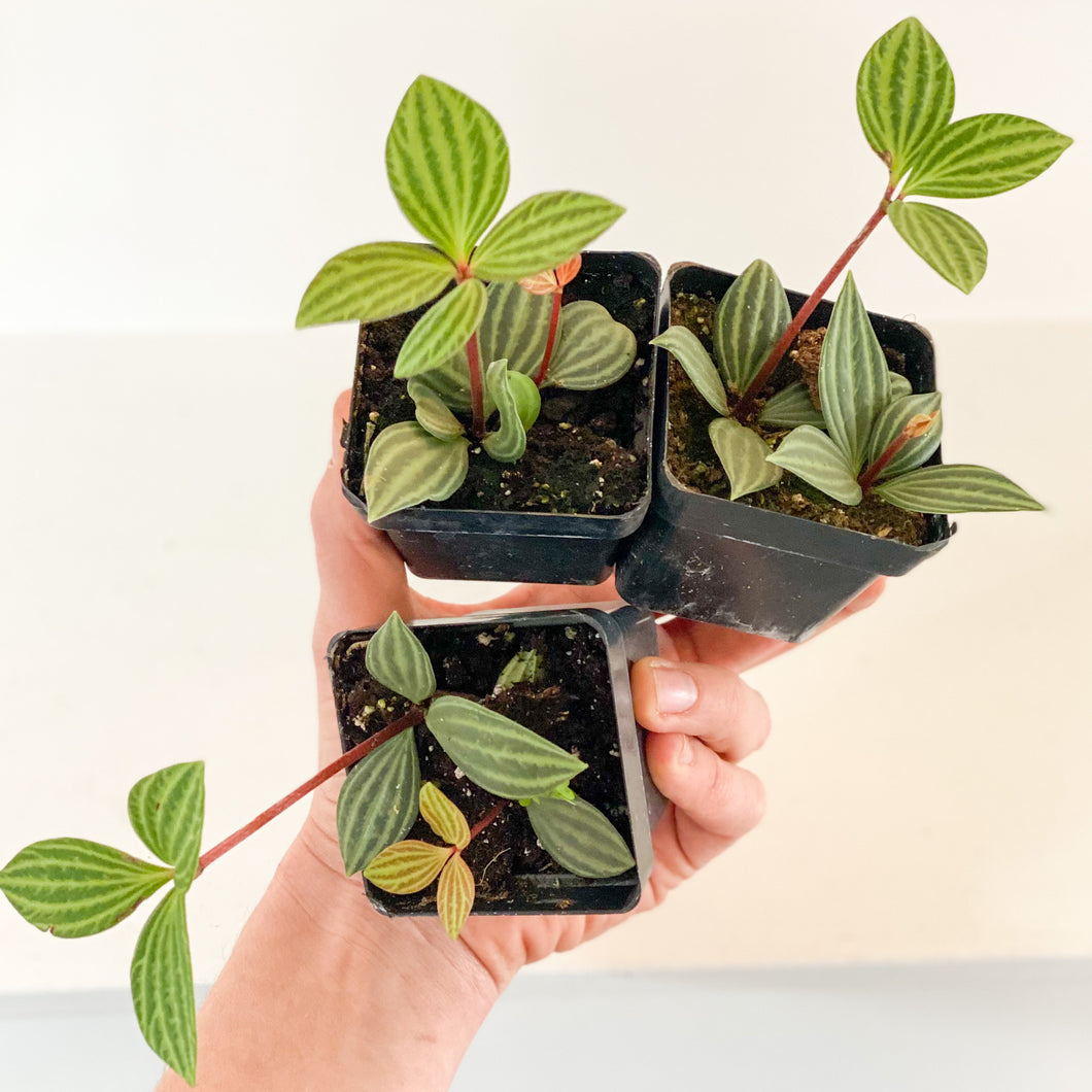 3 Trailing Peperomia in hand / nontoxic + air purifying