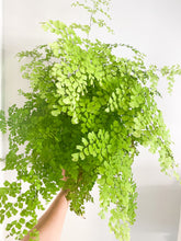 Load image into Gallery viewer, maidenhair fern in sunlight