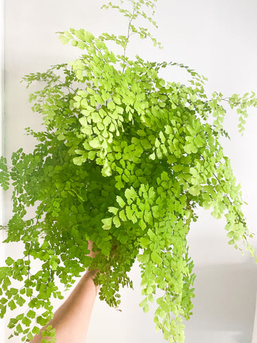 maidenhair fern in sunlight