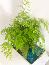 Load image into Gallery viewer, Maidenhair Fern - 6""