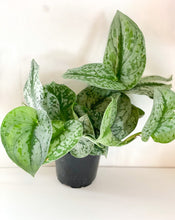 Load image into Gallery viewer, Silver Satin Pothos 4""