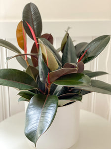 Rubber Tree in Ceramic Pot