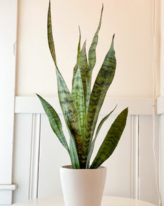 "Tall 4"" Snake Plant"