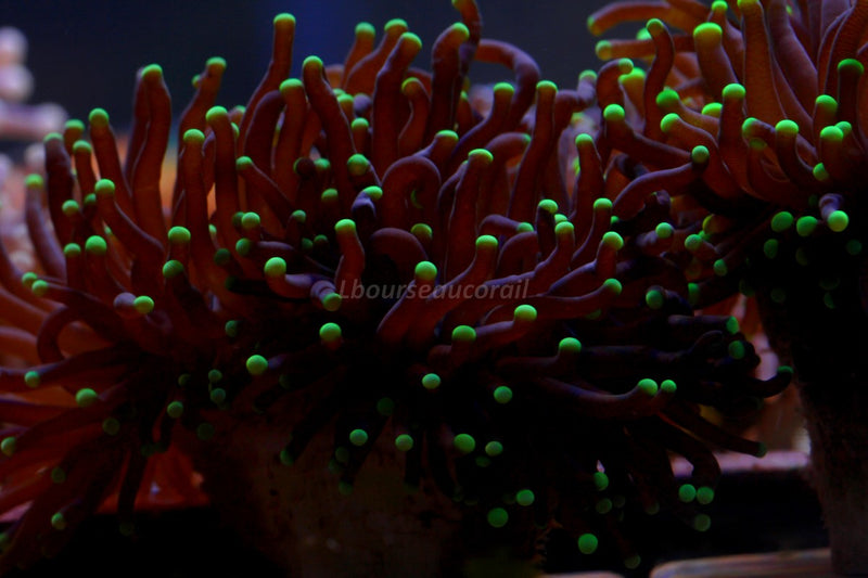 Euphyllia glabrescens Torch Green Tips