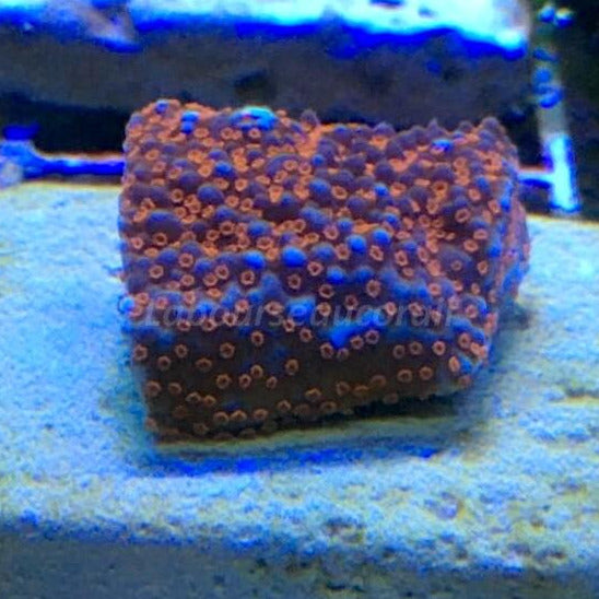 Montipora ultra bleu polypes orange Sp