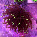 WYSIWYG Euphyllia glabrescens Pinapple Tip Torch Coral 03